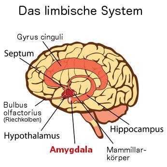 Amygdala im limbischen Gehirn